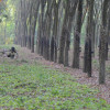 Kautschuk: Niedrige Preise treiben Produzenten in die Armut (FOTO)