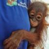 Zwei Orang-Utan-Babys in nur zwei Tagen aus Gefangenschaft befreit